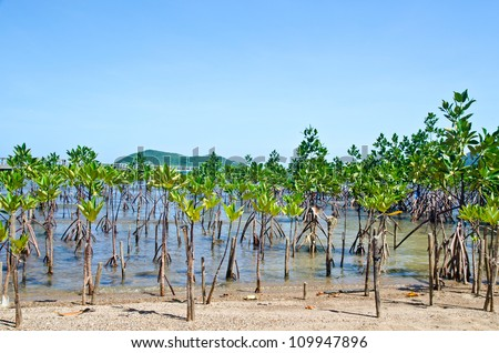 Young mangroves forest
