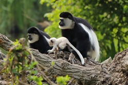 Young mantled guereza (Colobus guereza) with mother and other adult guereza sitting on tree trunk. Monkey family natural behaviour with little baby. Wildlife scene. Habitat Niger, Africa.