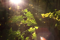 Young maple leaves photographed against the light, visible flares and lens flare.