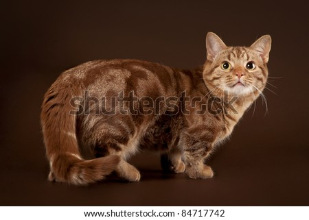 Young marble manchkin cat on dark brown background