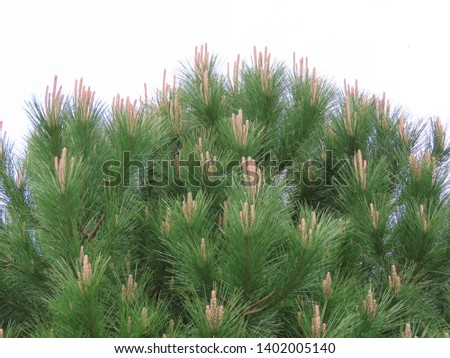 Young maritime pine / cluster pine (Pinus pinaster) in spring with long needles and upwards orange new growth, grown as decoration in a garden, close up