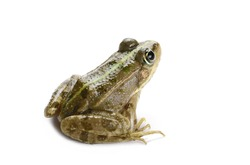 Young Marsh Frog isolated on white background, Pelophylax ridibundus