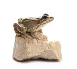 Young Marsh Frog on rock isolated on white background, Pelophylax ridibundus