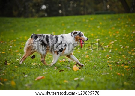 young merle Australian shepherd playing with toy in autumn