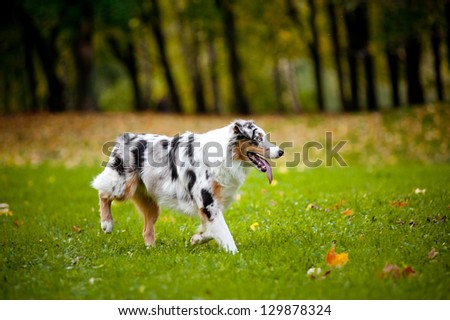 young merle Australian shepherd running in autumn #129878324