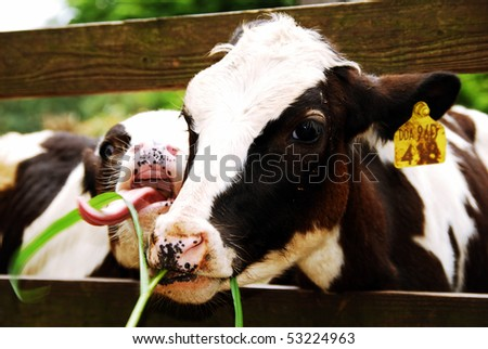 young milk cow