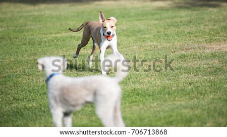 Young Mixed Breed Dog Running with  Orange Ball While at Dog Park #706713868