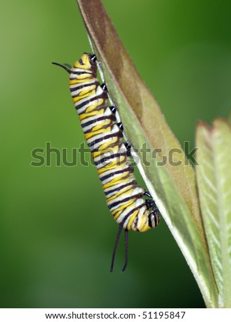 Young Monarch Caterpillar on some milkweed - stock photo