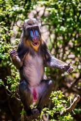 young monkey or primate mandrill (Mandrillus sphinx) on tree Wildlife animal.