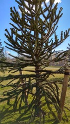 Young Monkey Puzzle tree supported by two stakes opposite to each andseparate canvas strappings. Staked Araucaria araucana tree. Spiky, triangular leaves, radially-arranged around branches, tree trunk