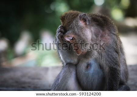 Young monkey sad, monkey sad, side view, monkey forest in Bali  #593124200