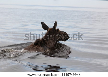 young moose swimming