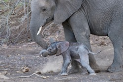 Young Mother Elephant helping Newborn Calf to Walk