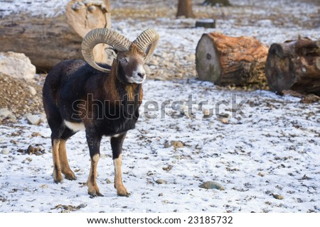 Young mouflon outdoors in a winter day
