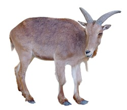 Young  mountain goat isolated on white background