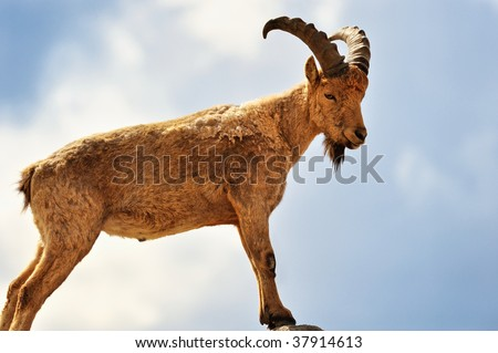 Young mountain goat standing on top of a hill