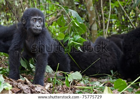Young mountain gorilla staring and looking kind of worried.