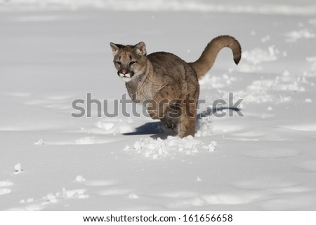 Young Mountain Lion in Snow