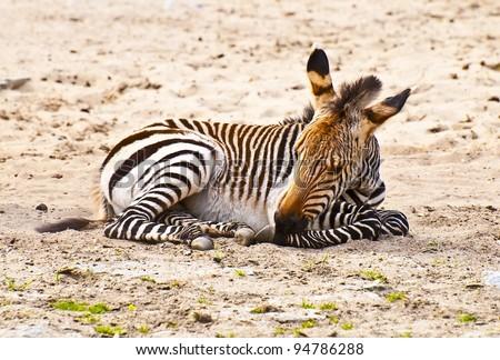 Young Mountain Zebra lying (Equus zebra) - stock photo