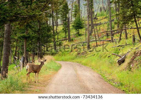 Young mule deer looking down dirt road in Yellowstone.