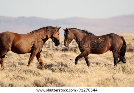 Young mustang stallion tests the right of more mature male to lead the small Pilot Butte Band of wild horses in Sweetwater County Wyoming.