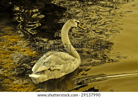Young mute swan(cygnus olor) caught in early evening glow on lake