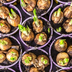 Young narcissus growing. Bulbs in in purple pots. Top view.