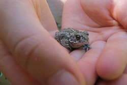 Young Natterjack Toad (Epidalea calamita) in hands of a child. The animal has a yellow line down the middle of the back. This amphibian species is native to sandy and heathland areas in Europe.