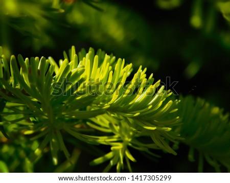 Young needles of fir, branch of fir, silver fir, Abies Balsamea #1417305299