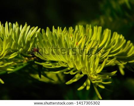 Young needles of fir, branch of fir, silver fir, Abies Balsamea #1417305302