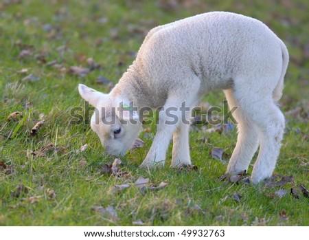 Young newborn lamb