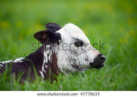 Young Nguni calf in the grass