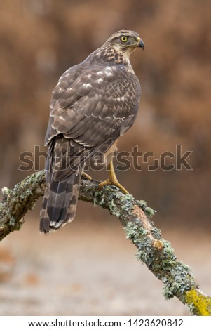 Young northern Goshawk, Accipiter gentilis, perched on its perch. Spain