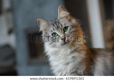 Young Norwegian Forest Cat Portrait