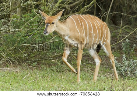 young Nyala antelope walking out of some thick bush