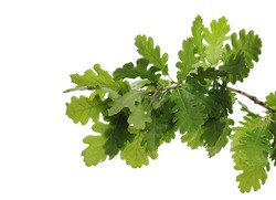 Young oak leaves on branch, green foliage isolated on white background
