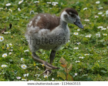 young offspring goose #1134663515