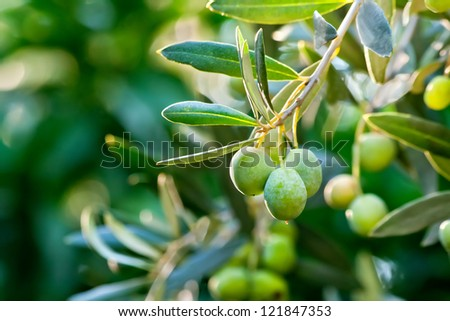 Young Olive On A Branch