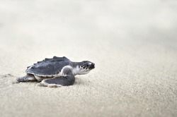 Young Olive ridley sea turtle (Lepidochelys olivacea)