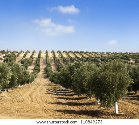 Young olive trees Newly planted trees in the plantation