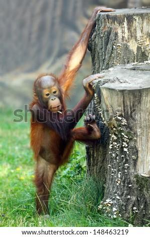 Young one of The Bornean orangutan (Pongo pygmaeus).  - stock photo