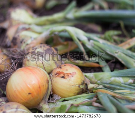 young onions on the ground, freshly harvested, fresh harvest