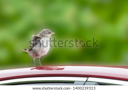young or baby mockingbird perched on car roof with reflection