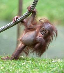 young orang utan