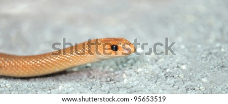 Young orange snake on a sand