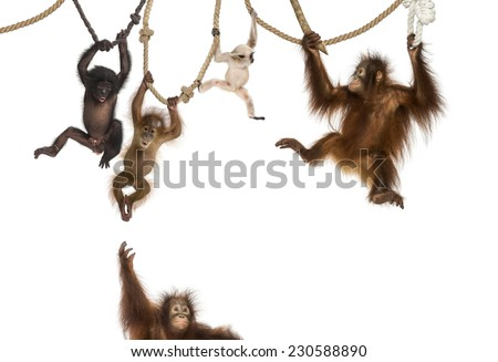 Young Orangutan, young Pileated Gibbon and young Bonobo hanging on ropes against white background