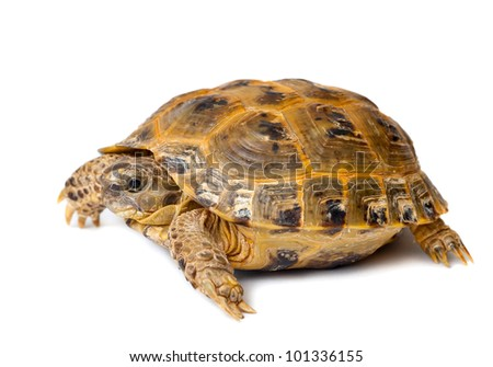 Young overland turtle on a white background