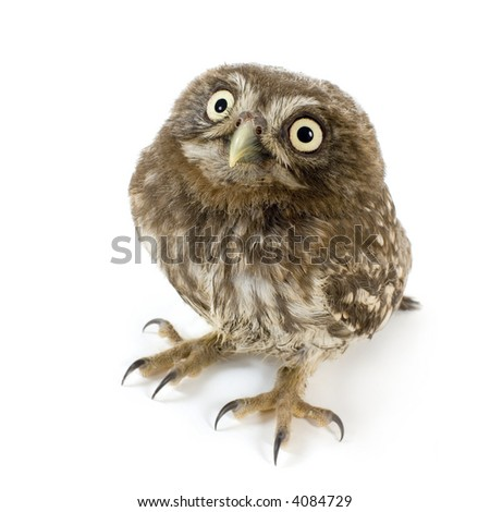 young owl in front of a white background