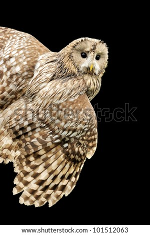 Young owl isolated on black background