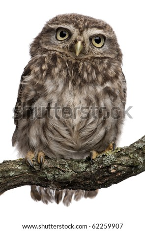 stock photo : Young owl perching on branch in front of white background